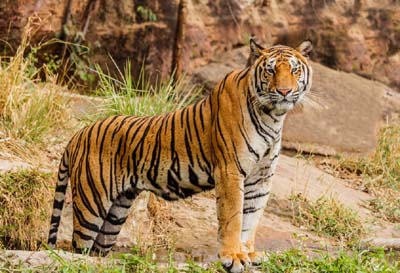 National Wildlife Day of Tiger