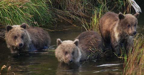 WildLife Bear UK, Australia