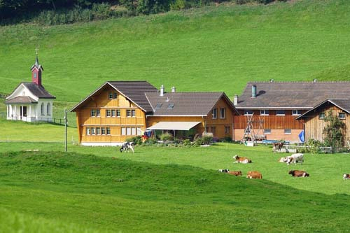 cute cows in switzerland appenzell