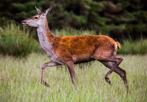 wildlife nature animal red deer wallpaper